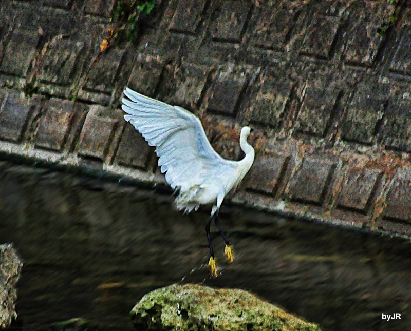 Egret's river dance.