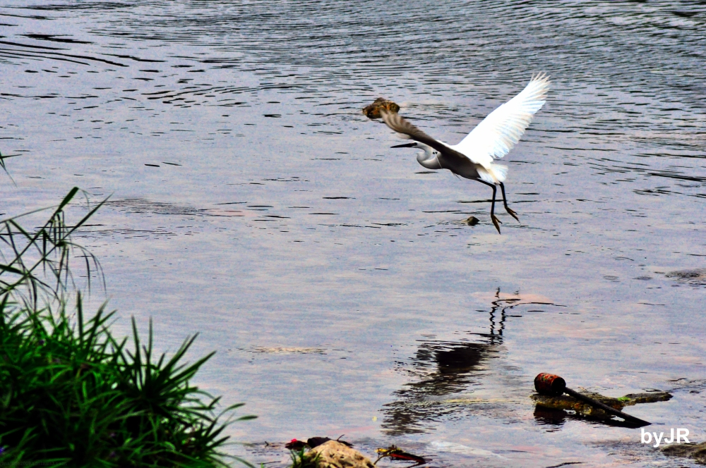 Egret taking off from the river.