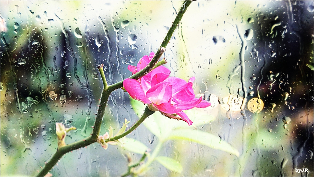 One little tiny rose in the rain.