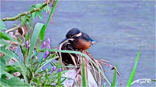 A little Kingfisher takes a break.