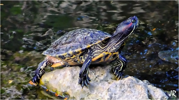 A river turtle sunning on a rock.