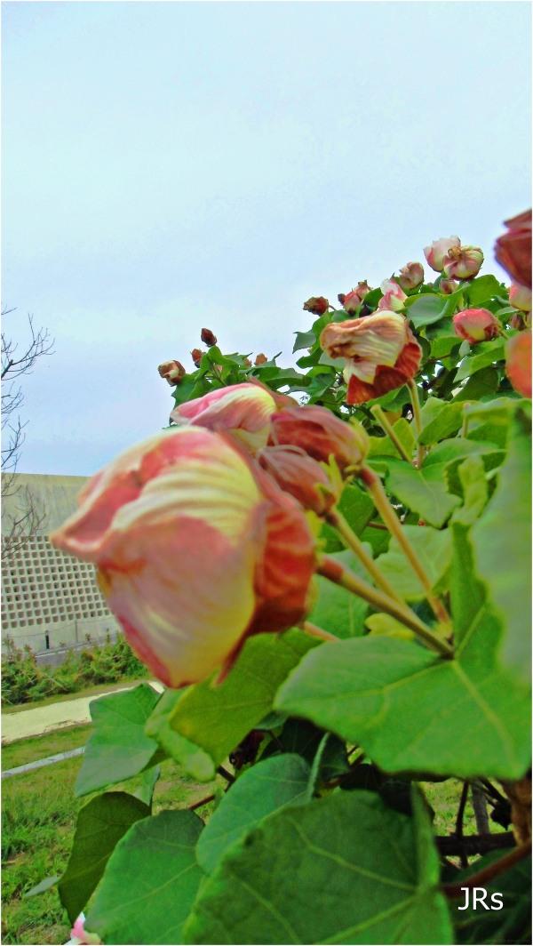 Beautiful flowers growing in Okinawa.