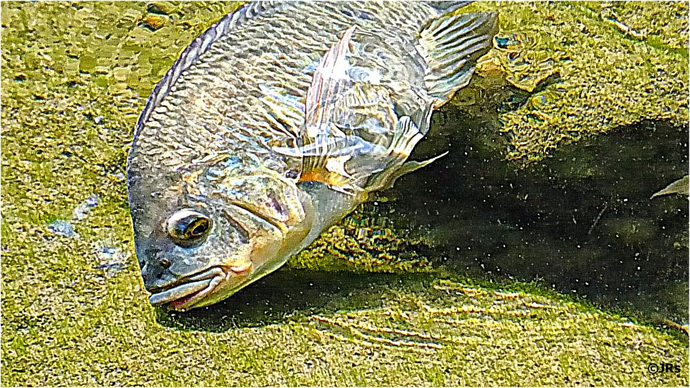 A fish swimming in shallow river water.