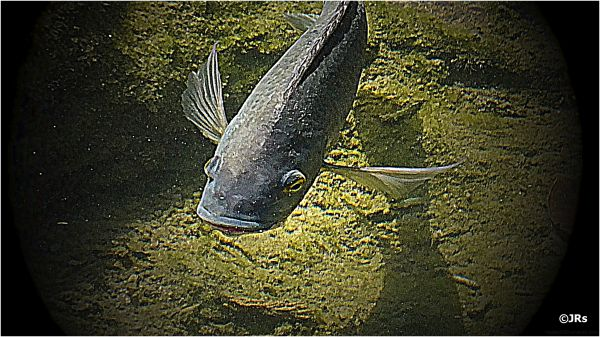 Another fish in the rivers shallows.
