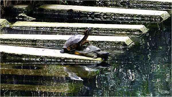 Turtles doing what turtles do.