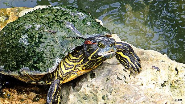 Not a sea turtle; a river turtle.
