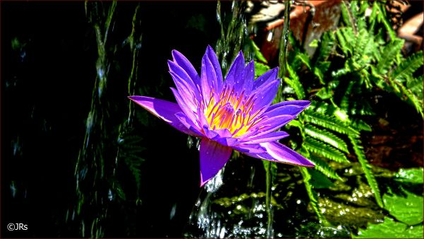 A water lily bathing.