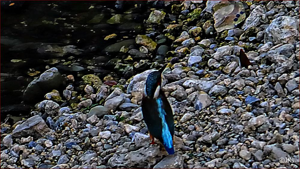 Kingfisher slows down for a short break.
