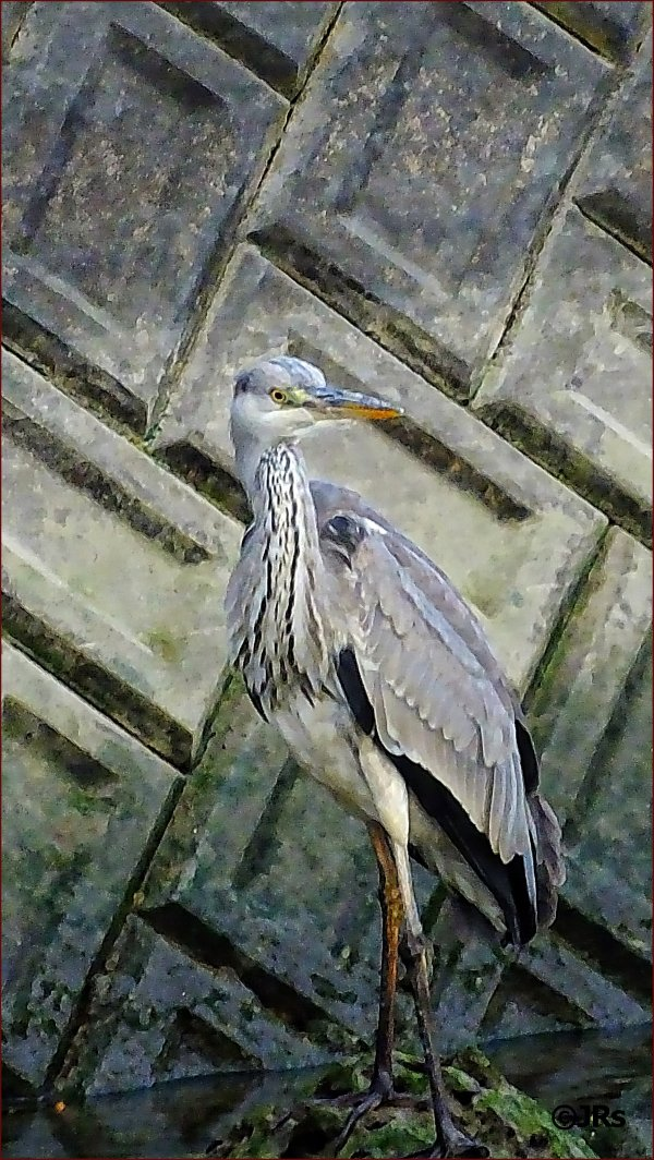 A beautiful heron posed for me:)