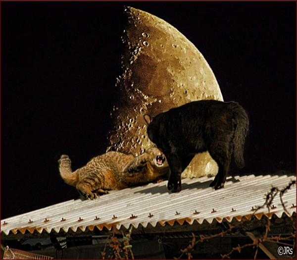 Cat fight in the light of the moon .