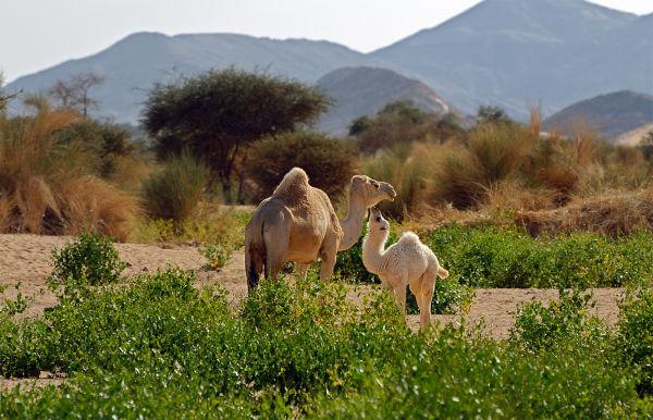 dromedary in adrar ,algeria