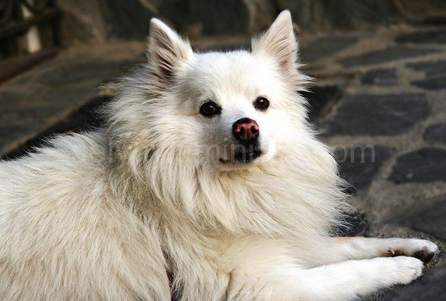 gos blanc