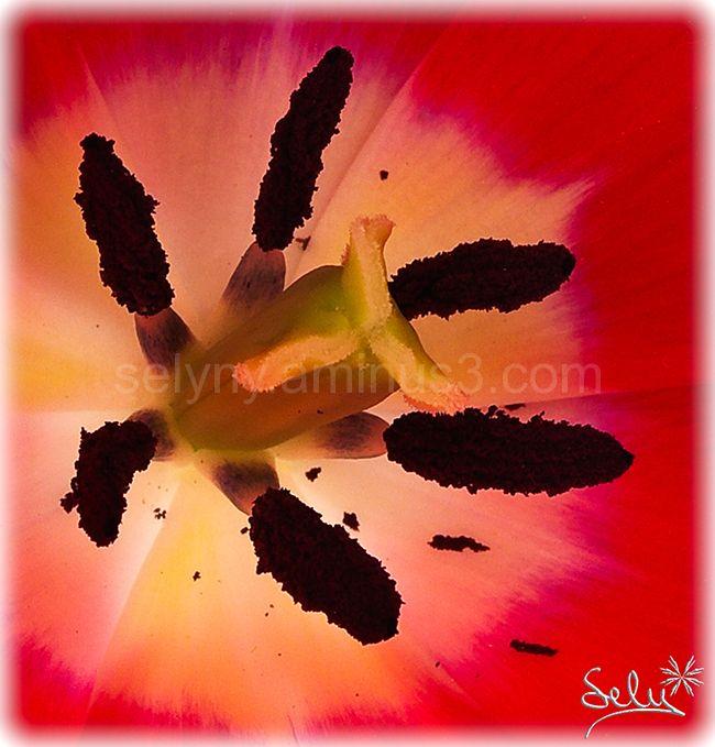 esclat de tulipà