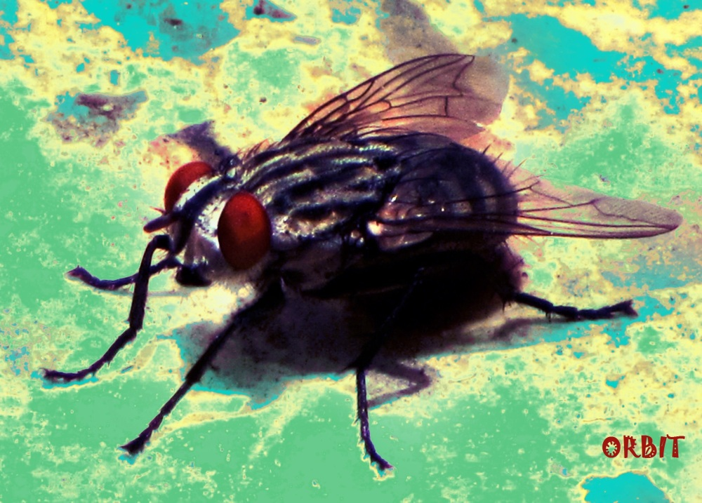Fly insecet animal