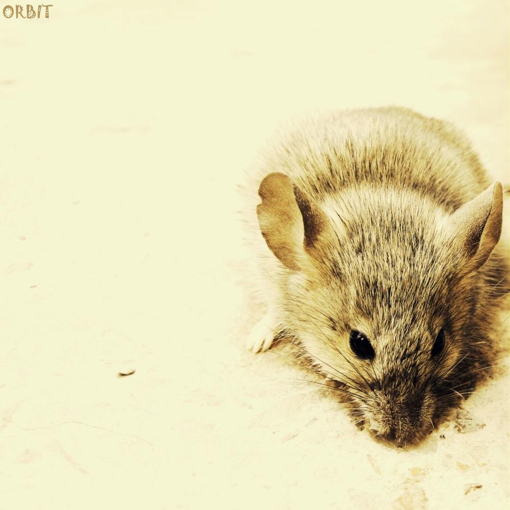 FROZEN MOUSE  RAT ANIMAL