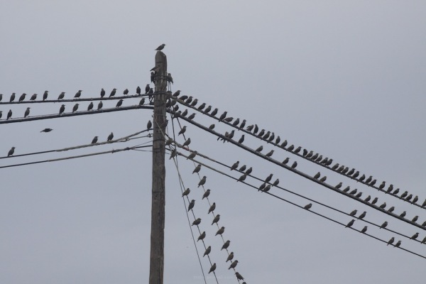 like a flock on the wire