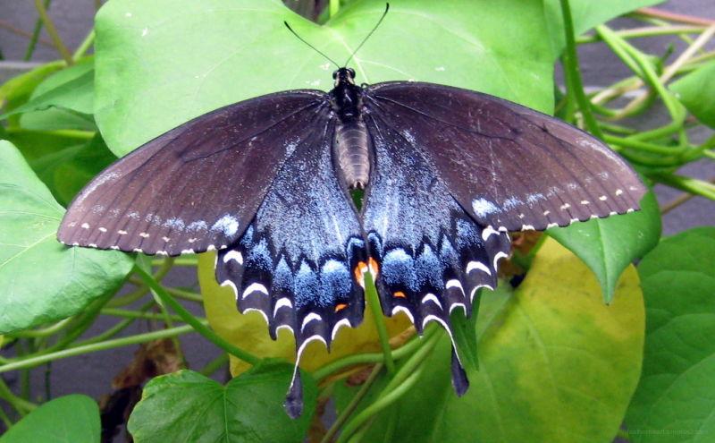 swallowtail butterfly on moonflower vine