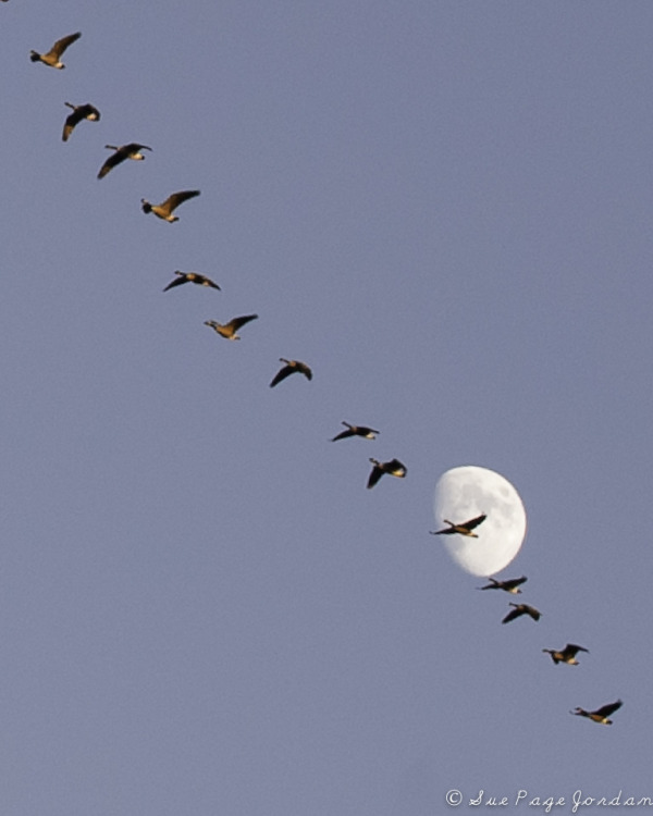 Geese flying over the moon