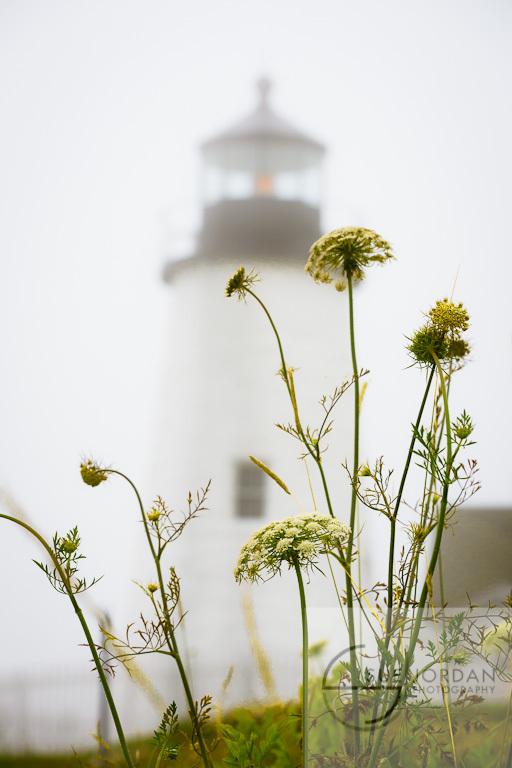 Queen Anne lace framing  foggy Pemaquid lighthouse