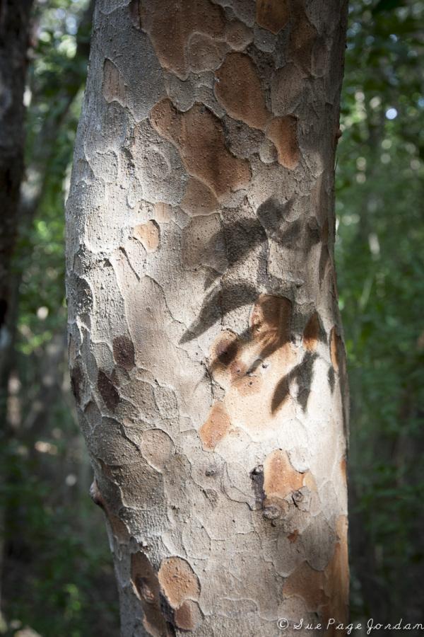 LEAF SHADOW ON TRUNK OF TREE