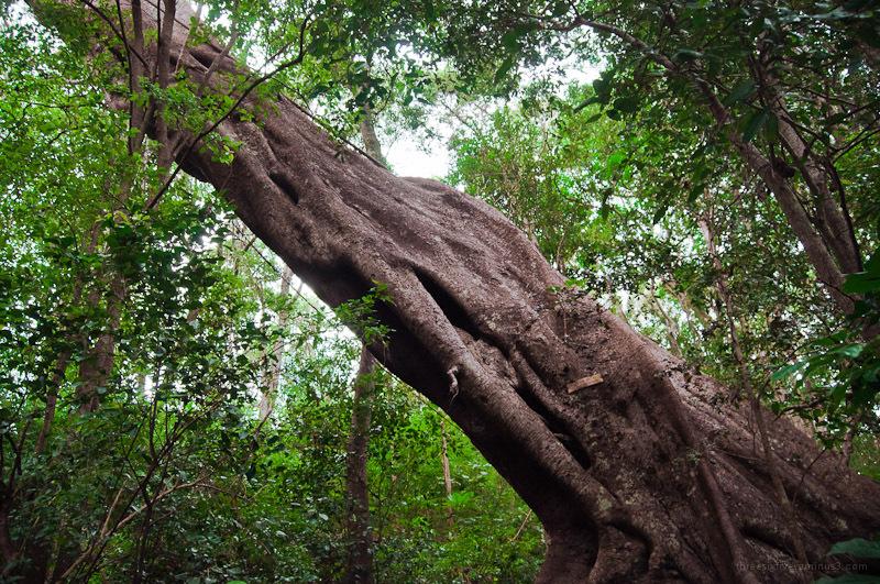 A giant Moreton Bay fig tree.