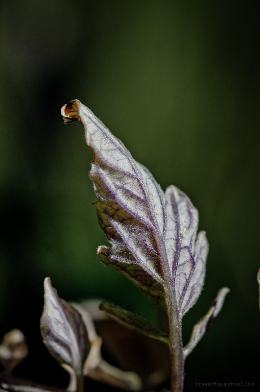 Wilting Tomato Leaf