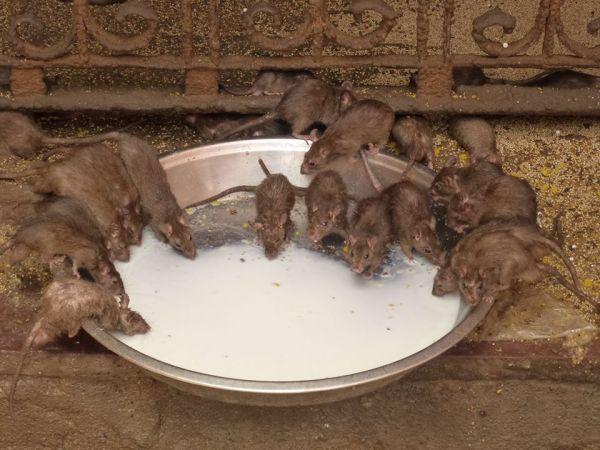 BIKANER  ( India )