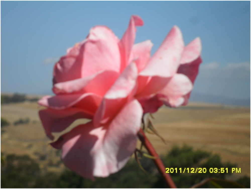 rose stands out from all the dead veld.