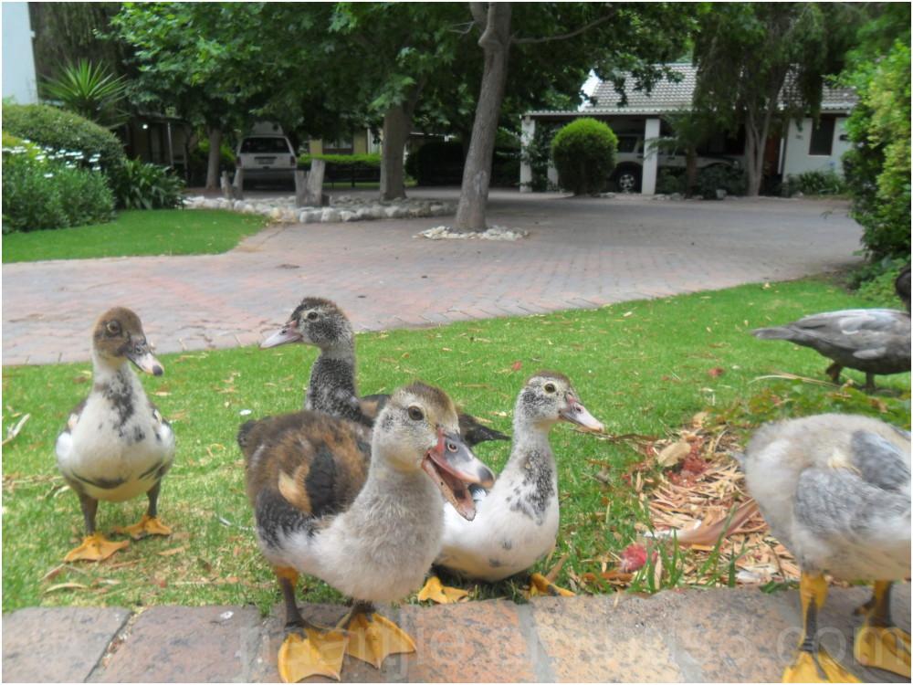 montague springs ducklings