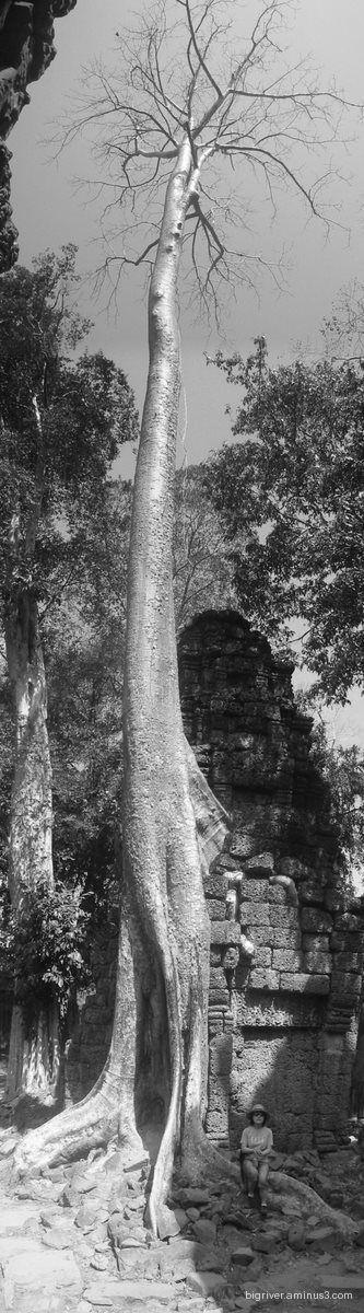 Ancient tree, Ta Prohm, Cambodia Jan 2006