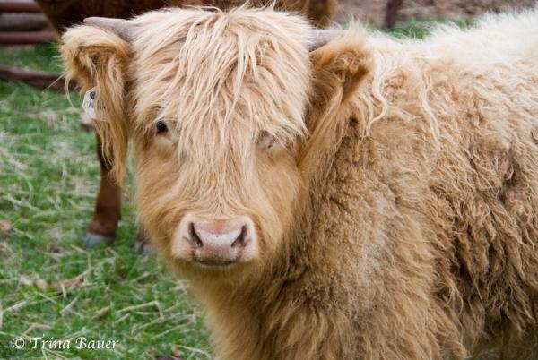 animal livestock cow spring