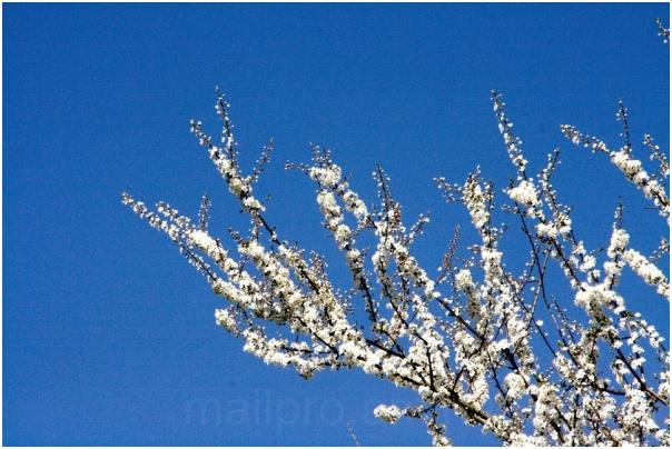 Frühlingsweiß