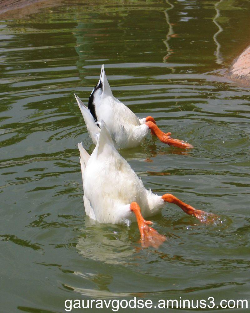 Rajhans (Swan)