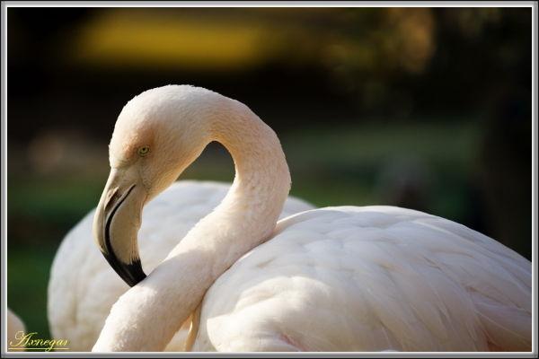 Beauty Swan !!