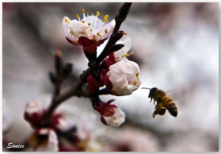 """Spring """" Honeybee """" Honey """" bee"""