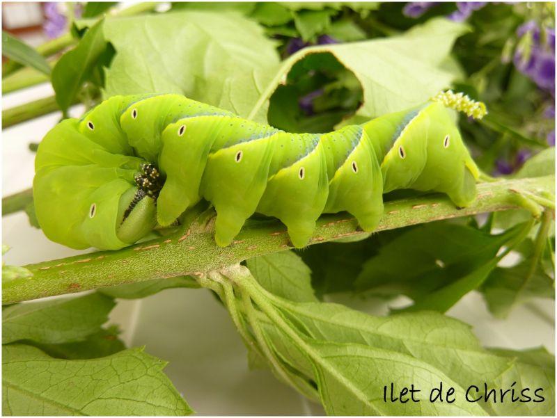 Une chenille verte