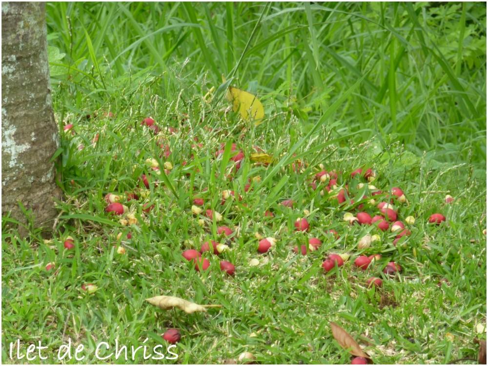 Graines rouges tombées à terre