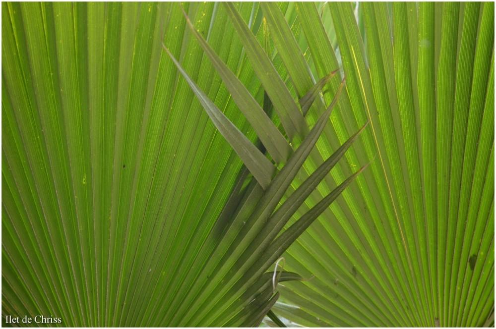 Palmes entrelacées