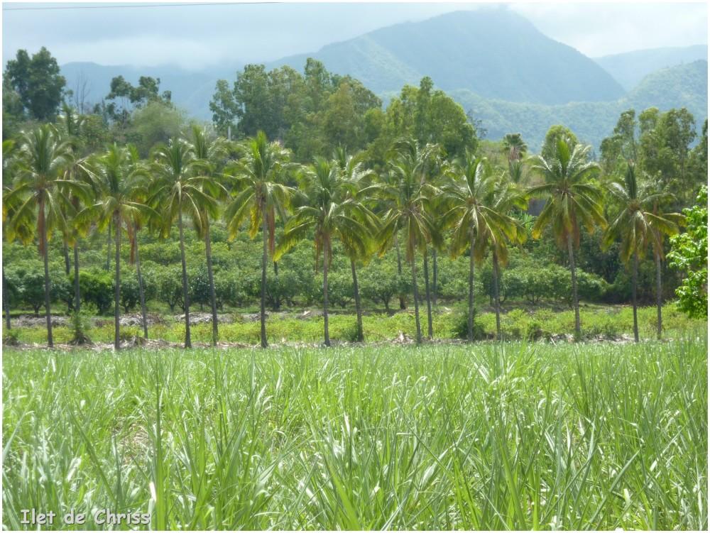 Champ de canne bordé de cocotiers