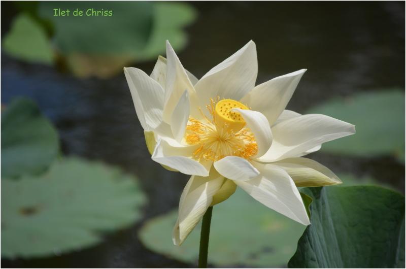 Lotus blanc