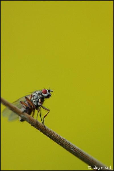 fly, insect