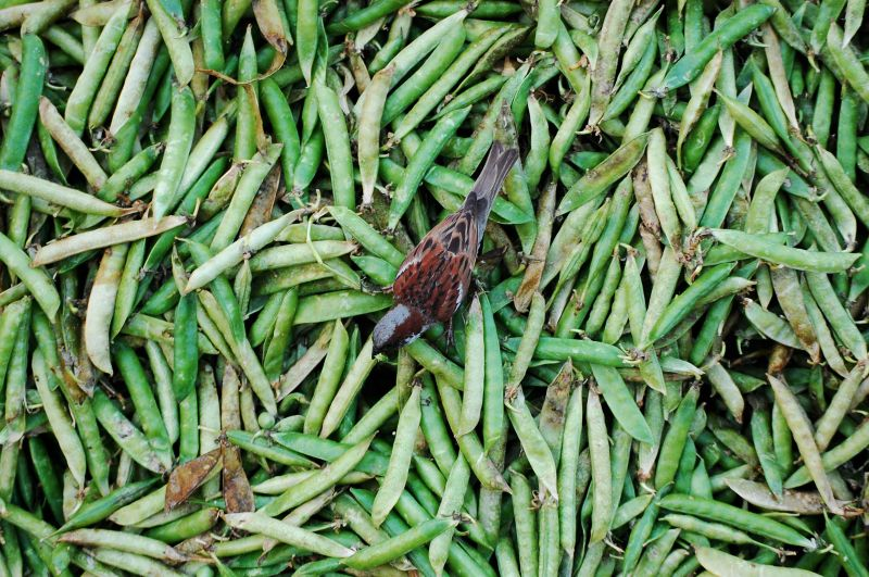 Sparrows picking insects from peas in vegetable