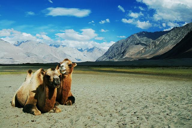 Bacterian camels at Hunder in Ladakh