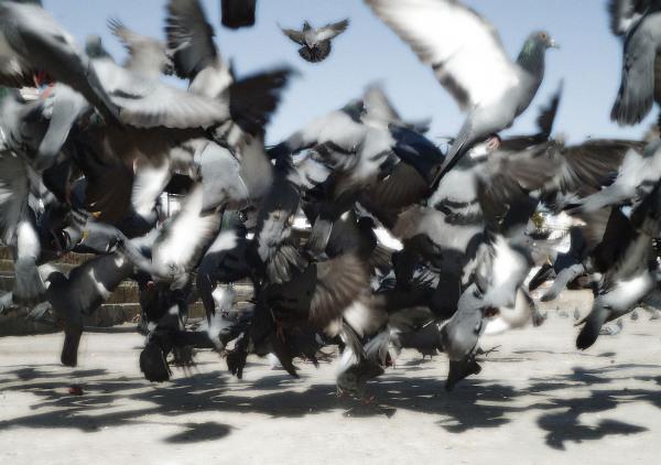 Pigeons fluttering