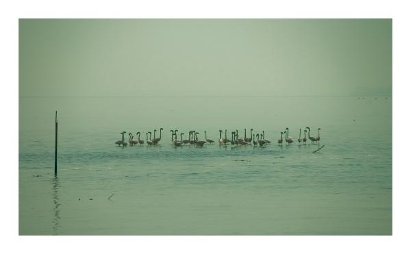 Lesser flamingos at Sewri