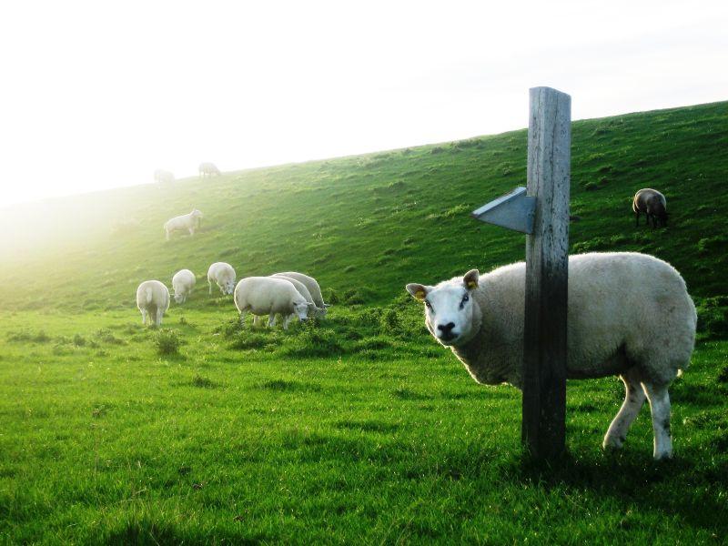 two-legged-sheep