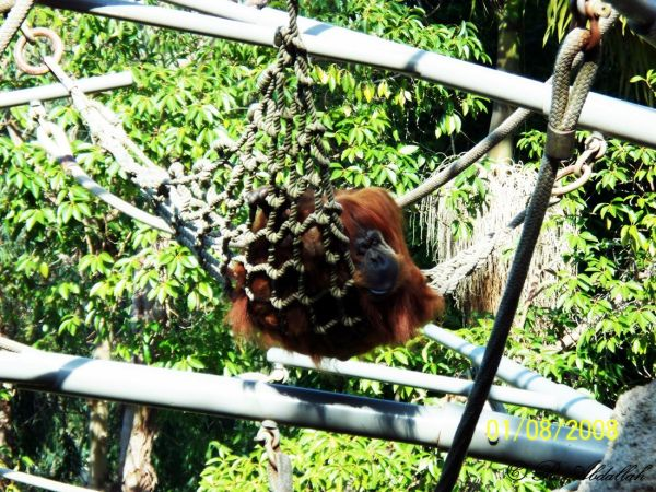 umatran Orangutan