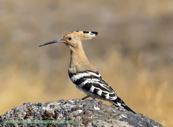Another shot of hoopoe.