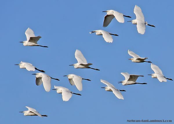 Egrets' fly
