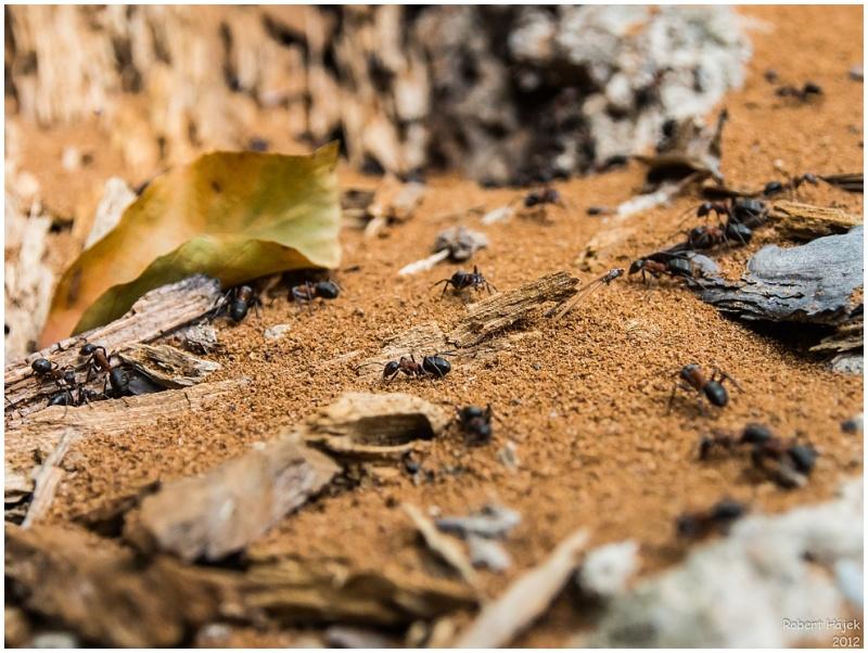 Mraveneček v lese...
